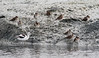Non-Breeding American Avocet and Godwits