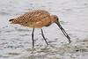 Marbled Godwit (Sandpiper)