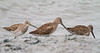 Non-breeding Hudsonian Godwits (Sandpipers)